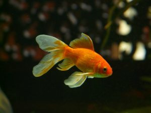 美しい金魚