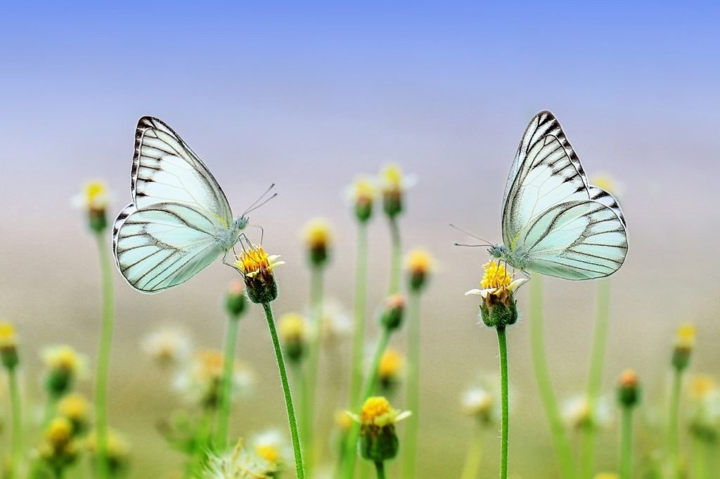 蝶や蛾になるんだけどね